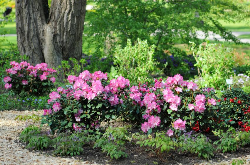 garden path of rhododendron